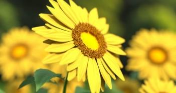 kukka_aurinko_auringonkukka_ilo_selviytyminen_positiivisuus_pex